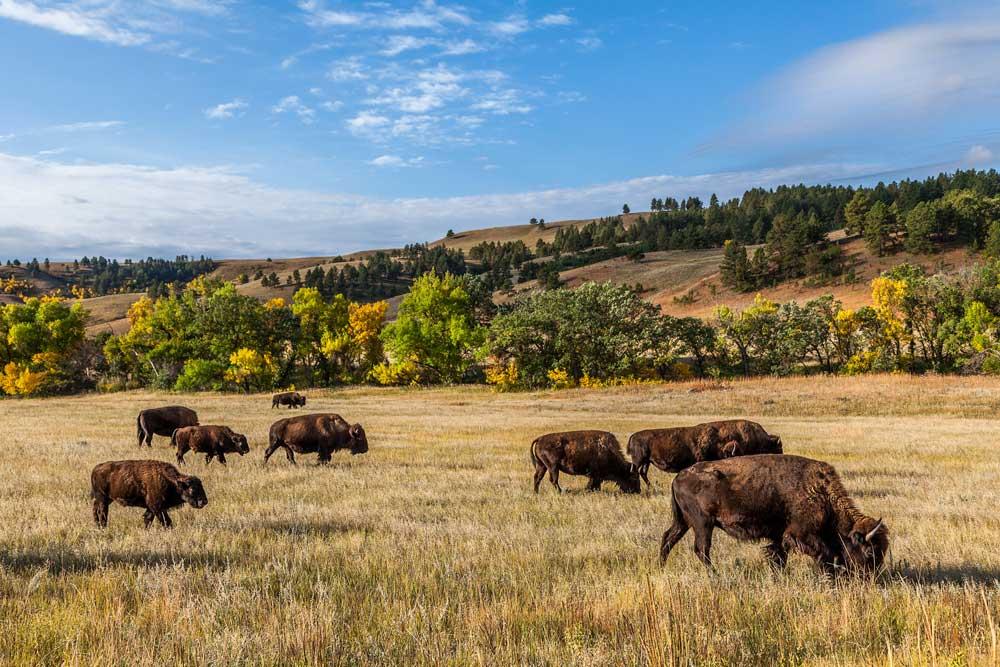 NPTEC-bison